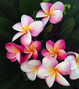 white and pink plumeria flowers