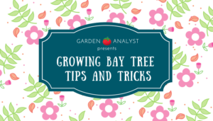 growing bay tree tips and tricks