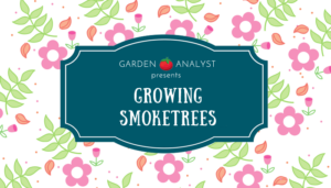 how to grow and care for a smoketree
