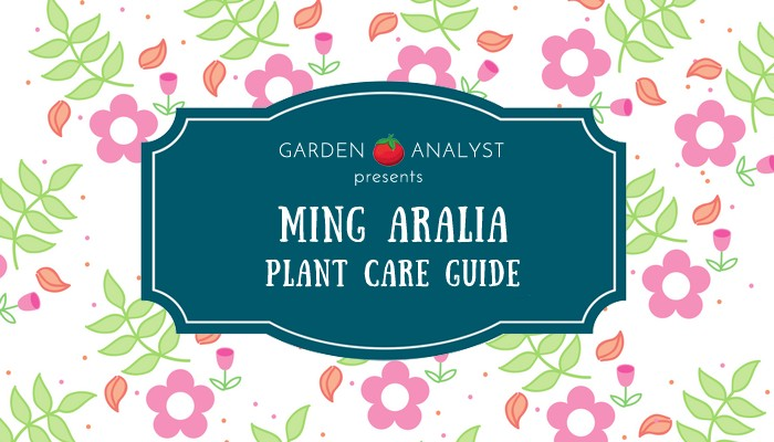 ming aralia plant care guide