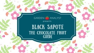 black sapote the chocolate fruit title