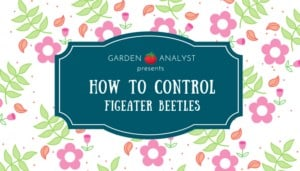 learn how to control figeater beetles