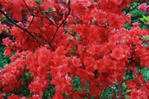 red stewartstonian azalea in bloom