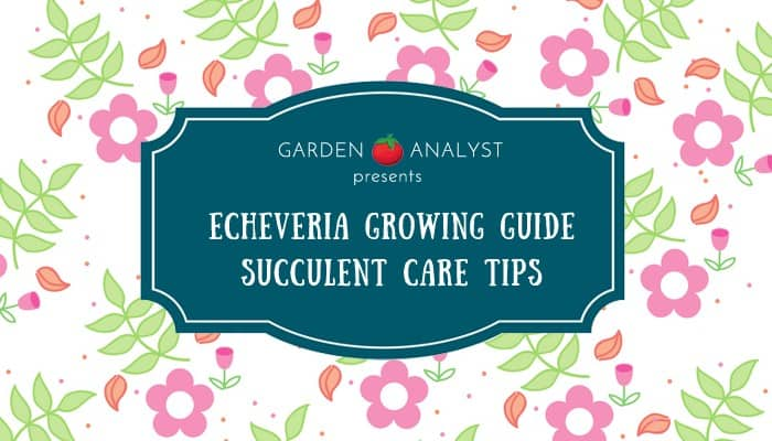 echeveria succulent growing guide