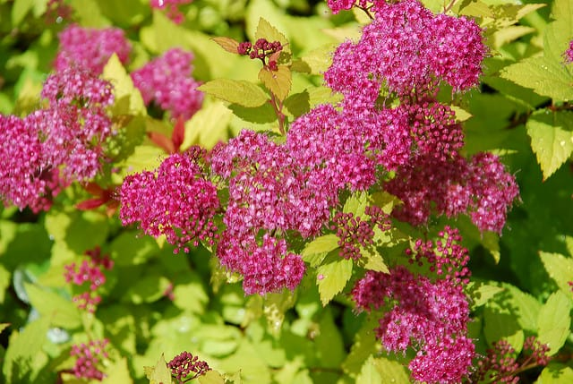 magic carpet red spirea flowers