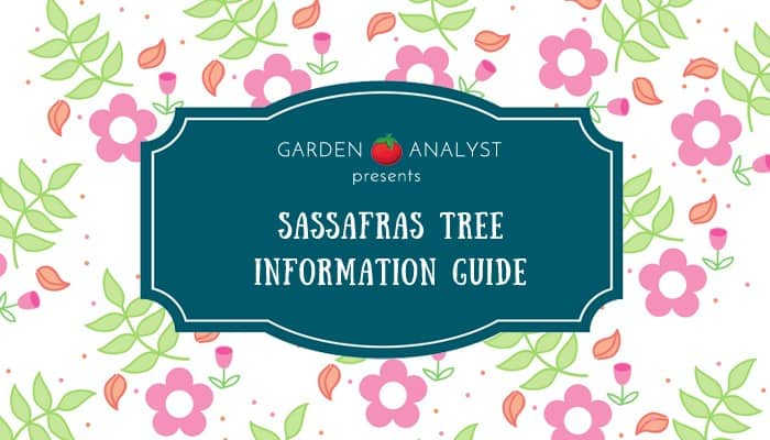 sassafras tree information