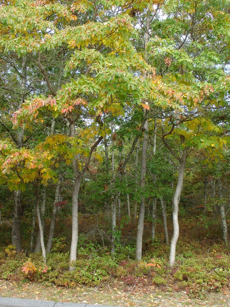 Sassafras tree in the fall