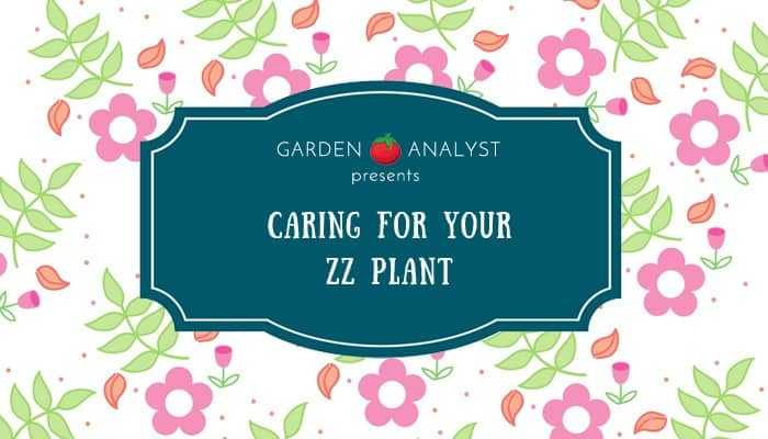 caring for your zz plant title