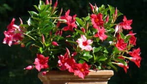 Red Dipladenia Flowers