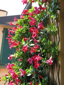 Red Dipladenia Scaling A Wall