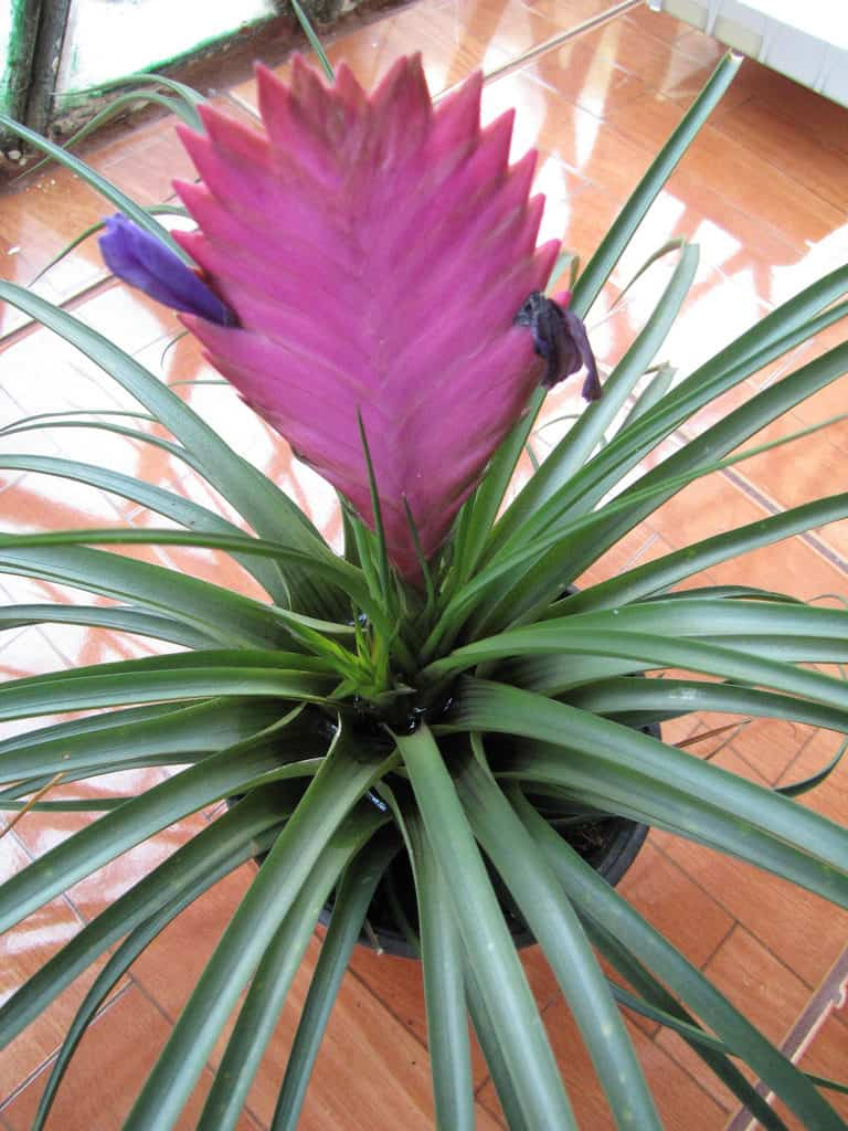 Pink Quill Houseplant Guide Learn To Care For Tillandsia Cyanea