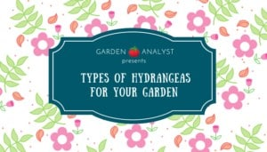 types of hydrangeas for your garden