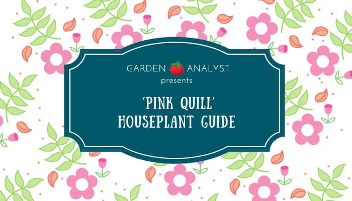 pink quill houseplant guide