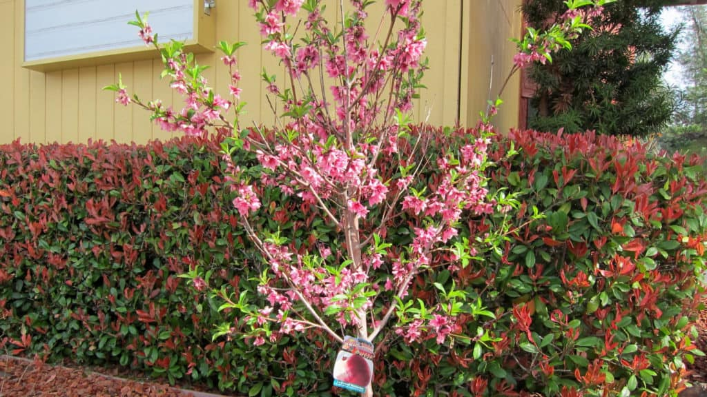 red tipped photinia hedge