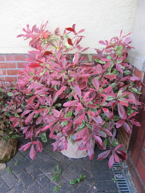 Photinia fraseri pot
