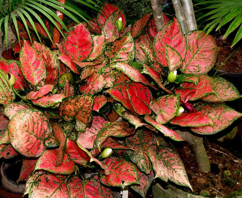 Red Blotched Aglaonema