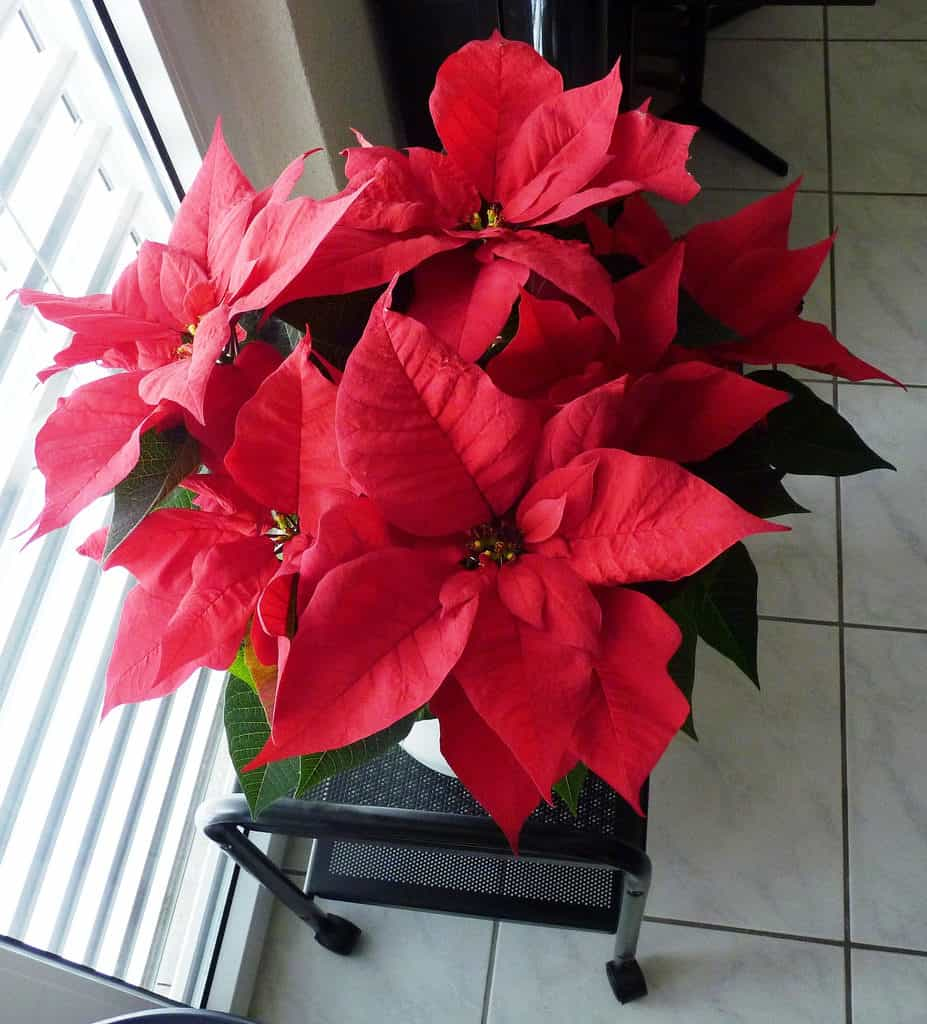 Red Poinsetta
