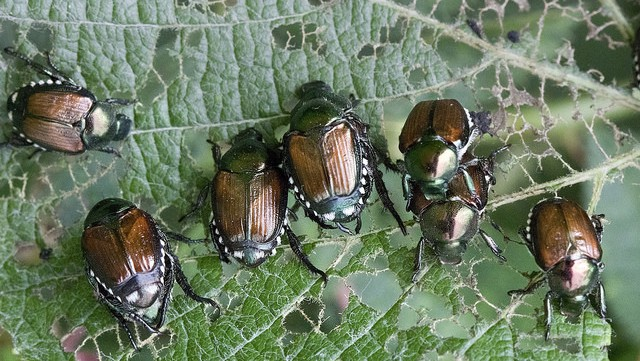 Group of Japanese beetles feeding