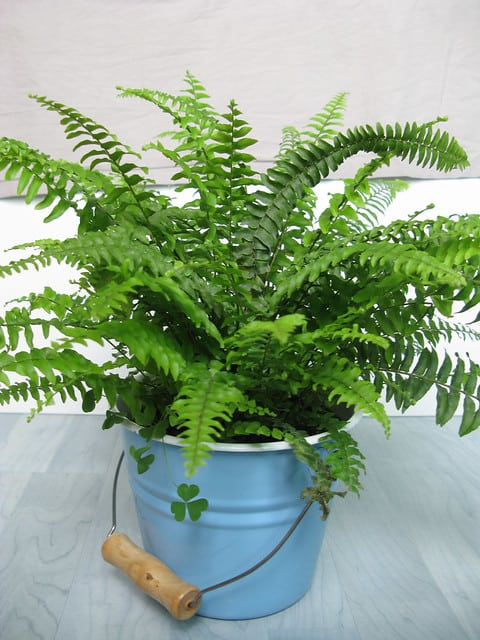 boston fern in a blue pot