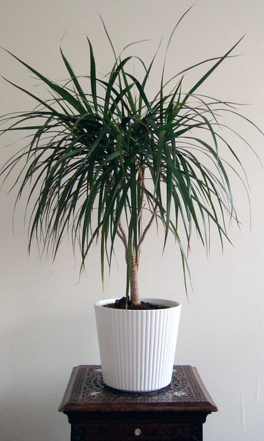 dragon tree in white pot