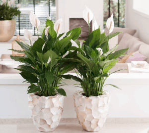 peace lily in a white pot