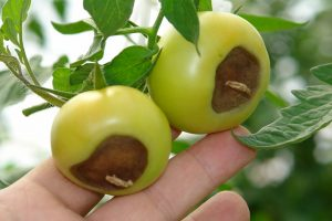 brown blossom end rot on tomatoes