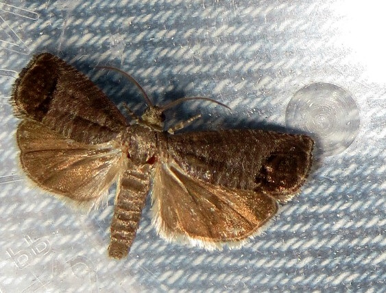 brown codling moth