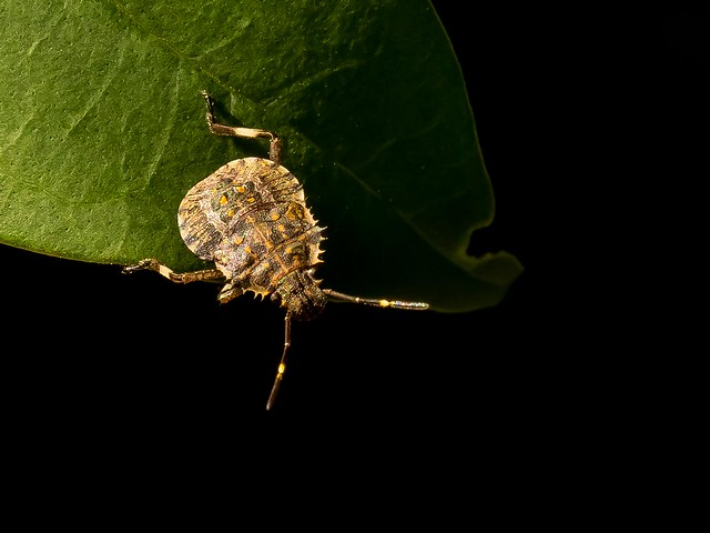 stink bug nymph eating a leaf