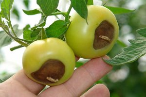 blossom end rot on two tomatoes