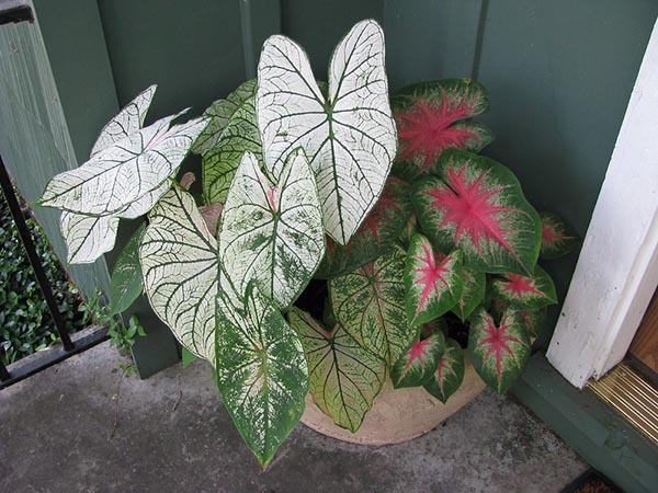 grouping of elephant ear plants in a bowl