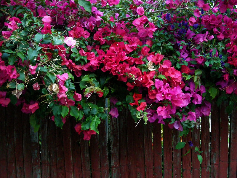multi-colored bougainvillea
